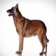 سگ مالینوای بلژیکی (Belgian Malinois)