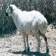 گوسفند کلکوهی
