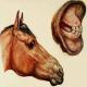 بیماری سیاه زخم در اسب