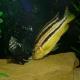 ماهی سیکلید اوراتوس (ornatus)