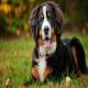 سگ برنس مانتن (Bernese Mountain Dog)