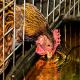 از اهمیت کیفیت آب برای مرغ ها آگاه هستید؟