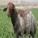 گوسفند ایرانی 3برابر کشورهای همسایه قیمت دارد