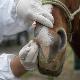آنفلوانزای ویروسی اسب