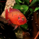 ماهی سیکلید جوئل (hemichromis bimaculatus)