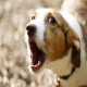 چطور سگ را از واق واق کردن زیاد باز داریم؟