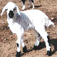 گوسفند نائینی
