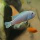 ماهی سیکلید ماکرو سفید (Snow White Socolofi)