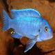 ماهی سیکلید ماکرو آبی (Cobalt Blue Cichlid)