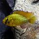 ماهی سیکلید هاپلو (Alluaud's Haplo)
