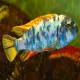 ماهی سیکلید مارمالاد (Labeotropheus fuelleborni)