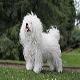 سگ بولوگنس (Bolognese)