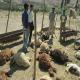 ۲۷ گوسفند توسط پلنگ ها دریده شدند