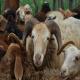 انواع گونه های گوسفند ایرانی