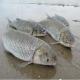 آشنایی با صید ماهی سفید
