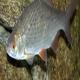 تکثیر مصنوعی ماهی سفید