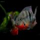ماهی سیکلید دهان آتشی (Firemouth Cichlid)