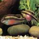 ماهی سیکلید کرینسیس (Pelvicachromis pulcher)