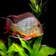 ماهی سیکلید پروکسیموس (Geophagus)