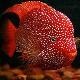 ماهی سیکلید تگزاس قرمز (Red Texas)