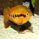 ماهی سیکلید رنگین کمانی (Rainbow Cichlid)