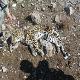 مرگ پلنگ ایرانی بر اثر گرسنگی