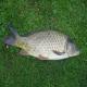 معرفی گونه های مختلف ماهی کپور