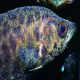 بیماری سفیدک در ماهی