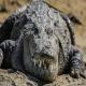 خطر انقراض تمساح پوزه کوتاه ایرانی بر اثر کم آبی