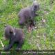توله خرس های سرگردان در گلستان به محیط زیست منتقل شدند