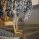 ناهنجاری های پا در پرندگان و اصلاح نژاد