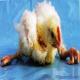عوامل ایجاد کننده اختلالات حرکتی در پرندگان (بخش اول)