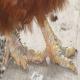 عوامل ایجاد کننده اختلالات حرکتی در پرندگان (بخش دوم)