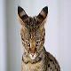 وضعیت گوشهای گربه
