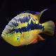 ماهی سیکلید سالوینی (Salvini Cichlid)