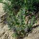 بررسی اثرات ضددردی گیاه کاکوتی
