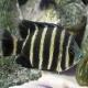 ماهی سیکلید زندانی (Buttikoferi Cichlid)