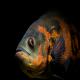بررسی آلودگی انگلی در اندام های مختلف ماهی اسکار