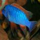 ماهی سیکلید چشم گازگیر (Compressiceps)