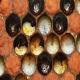 بیماری لوک اروپایی (European Foulbroud) در زنبورعسل