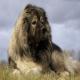 سگ کوکیژین آوچارکا یا سگ قفقازی (Caucasian Shepherd Dog)