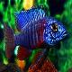 ماهی سیکلید طاووسی آبی (Blue Peacock Cichlid)