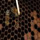 بیماری لوک آمریکایی (American foulbrood) در زنبورعسل