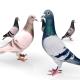 انواع نژاد کبوتر