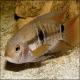 ماهی سیکلید پورت آکارا (Port Acara Cichlid)