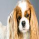 سگ کاوالیر کینگ چارلز اسپانیل (Cavalier King Charles Spaniel)