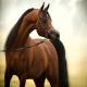 آشنایی با اسب اصیل یا اسب عرب