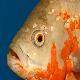 انگل هگزامیتا (Hexamita) در ماهی