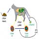توکسوپلاسما گوندئی در گربه با سویه Rh