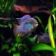 ماهی سیکلید پرچمی (Flag Acara Cichlid)